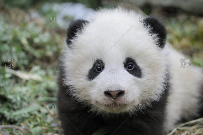 Head portrait of Giant panda  (Ailuropoda melanoleuca) cub aged 5 months. Wolong Nature Reserve, Wenchuan, Sichuan Province, China. Captive.