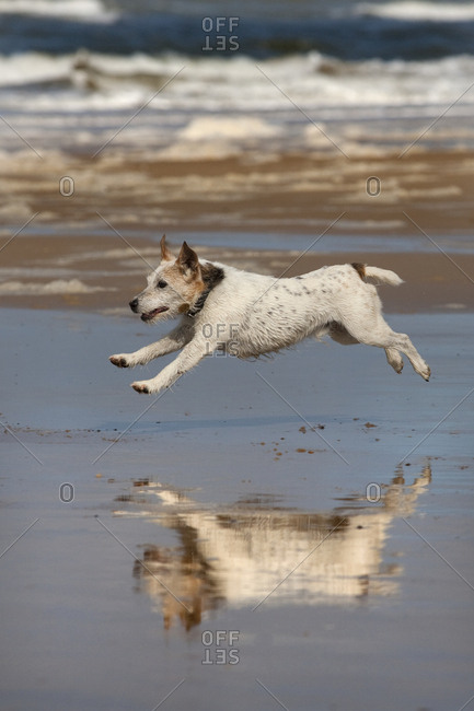 Jack Russell terrier running on beach, with reflection in wet sand, Norfolk, UK.