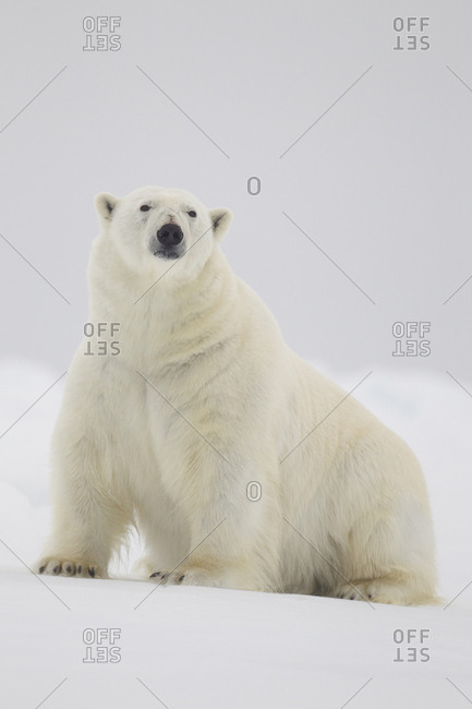 Polar bear (Ursus maritimus) on ice floe, Svalbard, Norway, August.