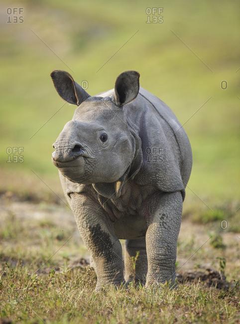 Indian rhinoceros (Rhinoceros unicornis) calf, Kaziranga National Park, Assam, India. Vulnerable species.