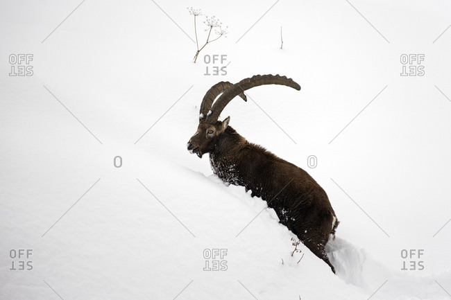 Alpine ibex (Capra ibex) male in deep snow 