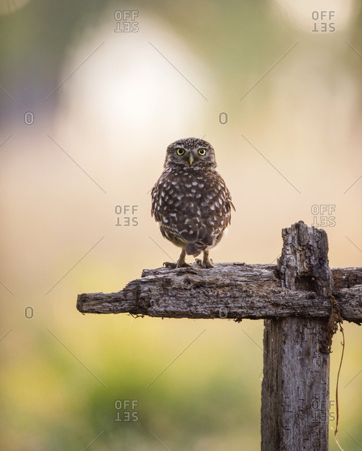 Owl staring wide-eyed from country fencing