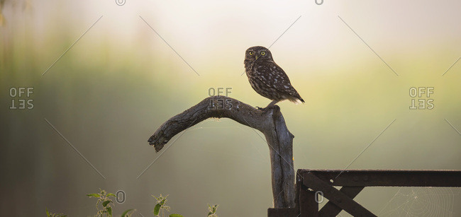 Pretty owl perched on wooden post in rural field at sunset