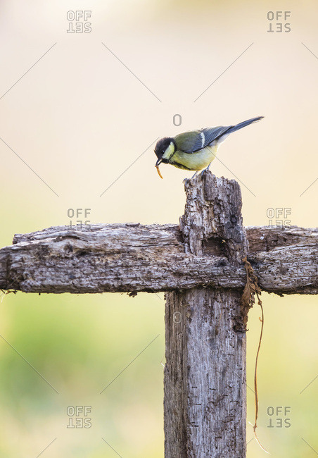 Bird eating small insect on farm fence