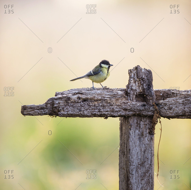 Small bird waiting on end of wooden farm fence