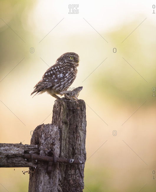 Owl standing with caught mouse on rustic fence