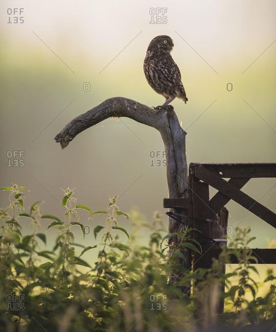 Owl staring sideways on farm fence