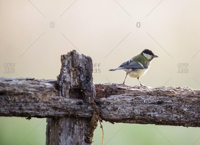 Little bird standing motionless on wooden rural fence
