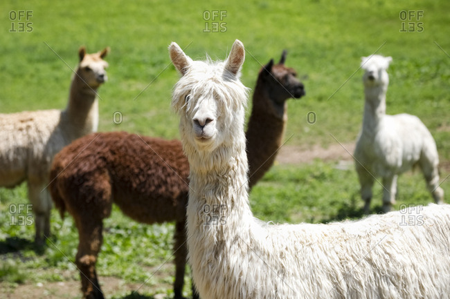 Several brown and white alpacas standing in the pasture at a farm in Millbrook, New York