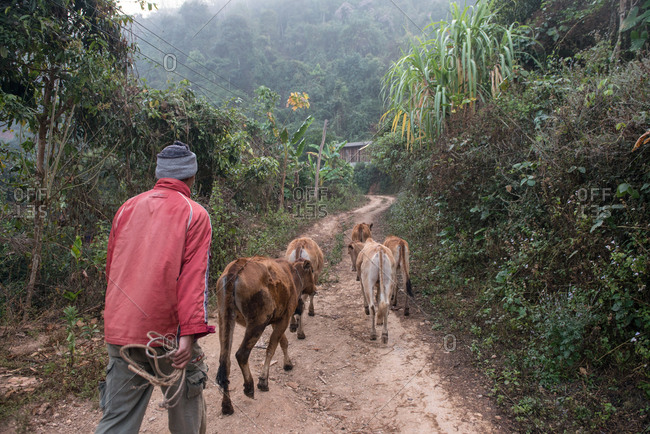Asian tribal man herding cows on dirt road in the mountains