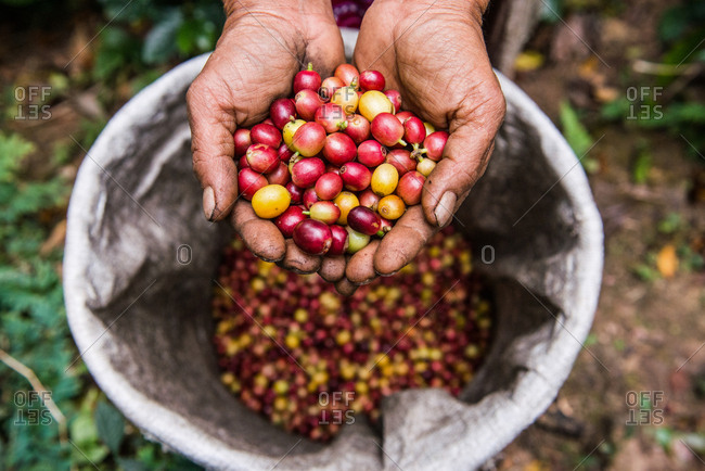 Hands holding freshly picked coffee beans