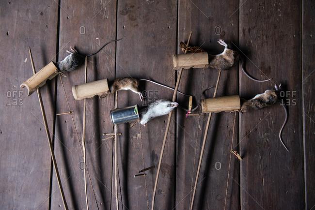 Rats caught in traditional tilong bamboo rat trap