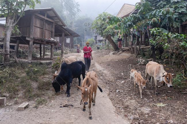 Thailand - February 15, 2018: Asian tribal man leading in cows through village