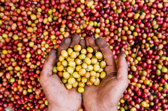 Hands holding freshly harvested coffee beans