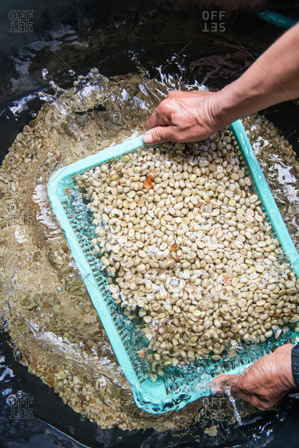 Chiang Mai, Thailand - February 14, 2018: Person washing coffee beans