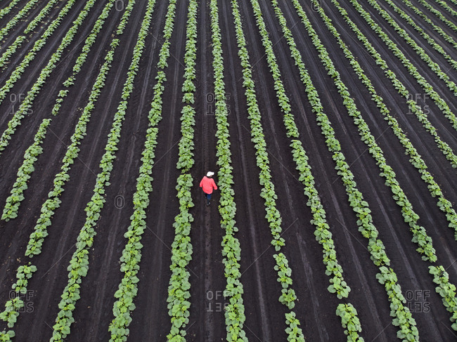 Farmer checking on crop of cucumbers in Richmond, British Columbia