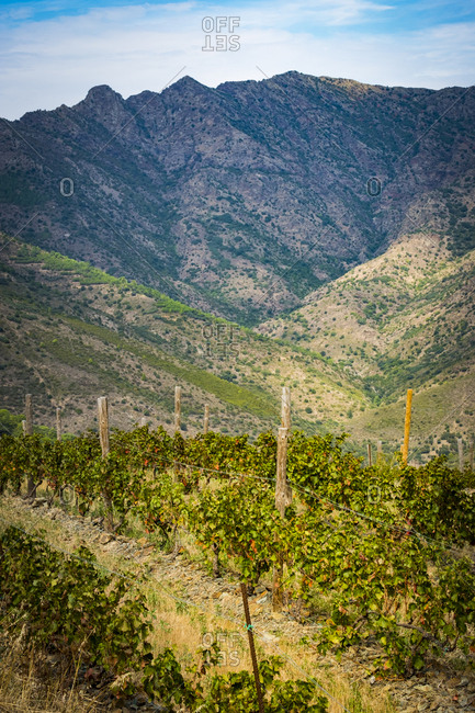 Vineyards for the production of organic wines around the town of Colera north of the Costa Brava in the province of Gerona in Catalonia Spain
