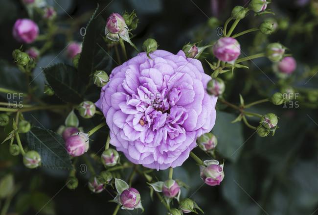 Purple flowers and floral peaks beginning to bloom
