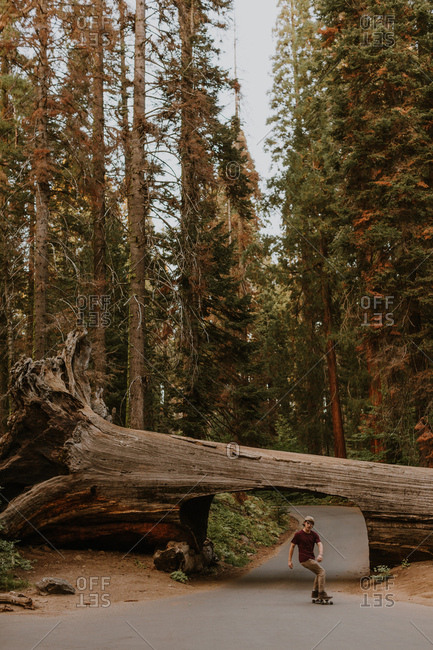 Skateboarder skateboarding under fallen sequoia tree, Sequoia National Park, California, USA