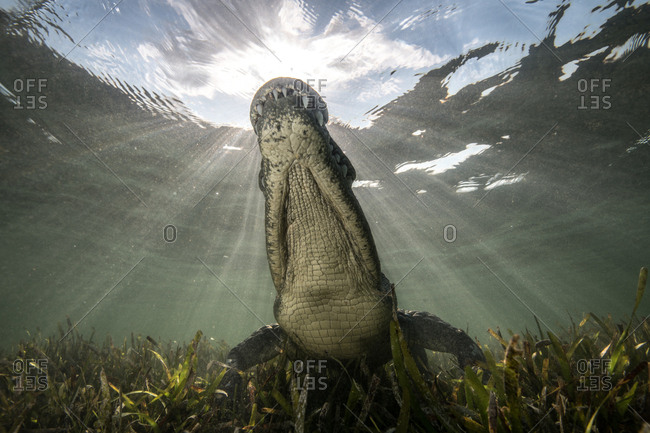 American crocodile (crocodylus acutus) in shallows, low angle view, Chinchorro Banks, Xcalak, Quintana Roo, Mexico