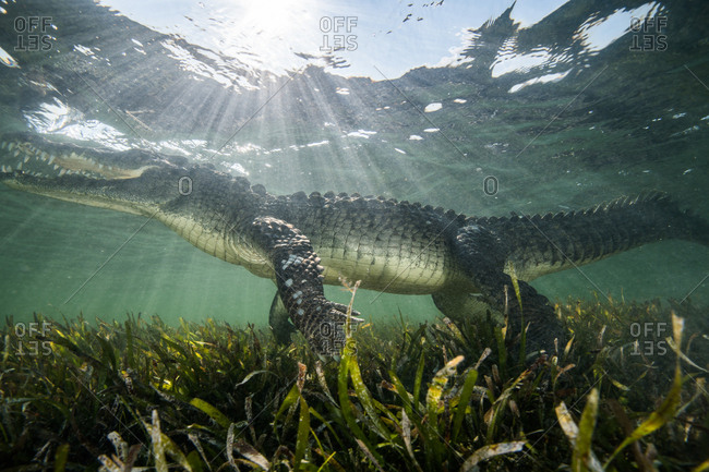 American crocodile (crocodylus acutus) in shallows, Chinchorro Banks, Xcalak, Quintana Roo, Mexico