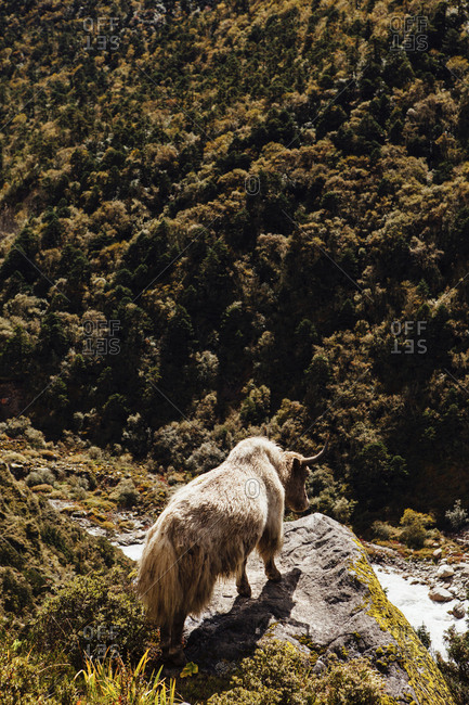 High angle view of yak standing on mountain at Sagarmatha National Park during sunny day