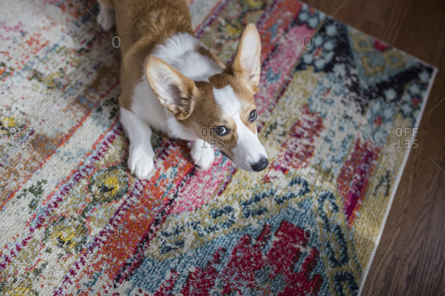 High angle view of dog looking away while sitting on carpet at home