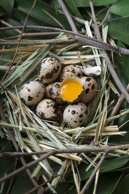 From above shot of straw and foliage nest with quail eggs and one beaten showing golden yolk.