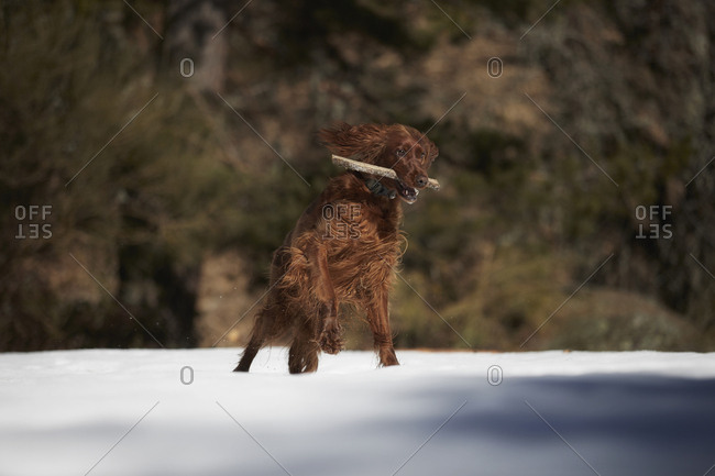 Dog playing with stick on snow-covered glade