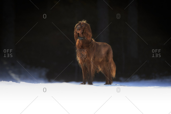 Brown Irish setter walking on sunlit snowy meadow