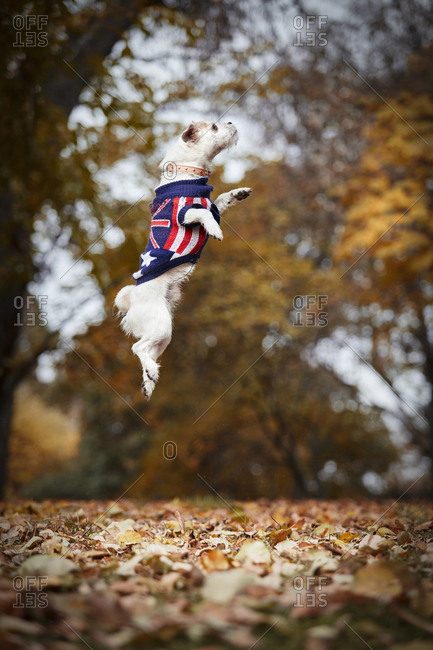 Side view of small white under breed dog in collar and jacket with flag print jumping high in blurred autumn park background