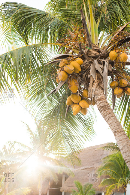 From below palm with yellow coconuts hanging growing in tropics in back lit