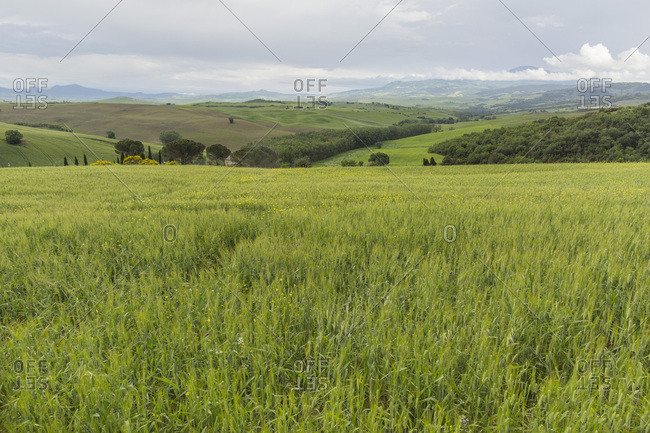 Vibrany wheat field and hill country, Tuscany, Italy