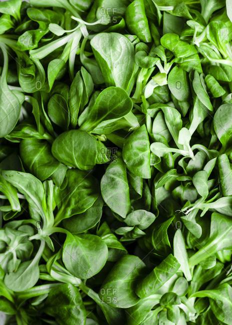 Mache lettuce macro shot (field or lamb's lettuce).