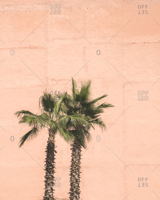 Two palm trees in Morocco