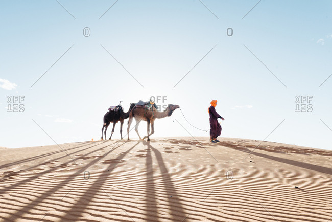 Moroccan leads his camel in the Sahara Desert