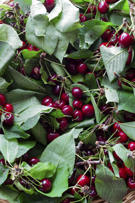 Sweet farm fresh cherries with leaves