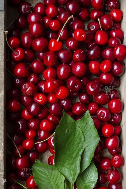 Cleaned sweet farm fresh cherries with leaves