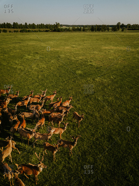 Elevated view of a herd of deer in a field