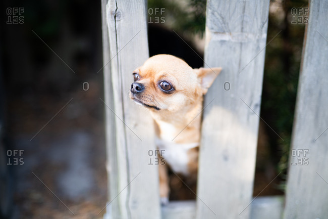 Tiny dog stuck between wooden fence slats
