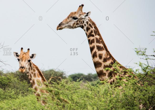 Portrait of giraffes looking at camera, on the road to Okavango Delta, Botswana