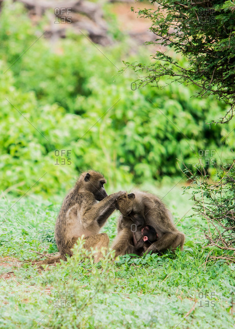 Baboons with babies grooming, Chobe National Park, Botswana