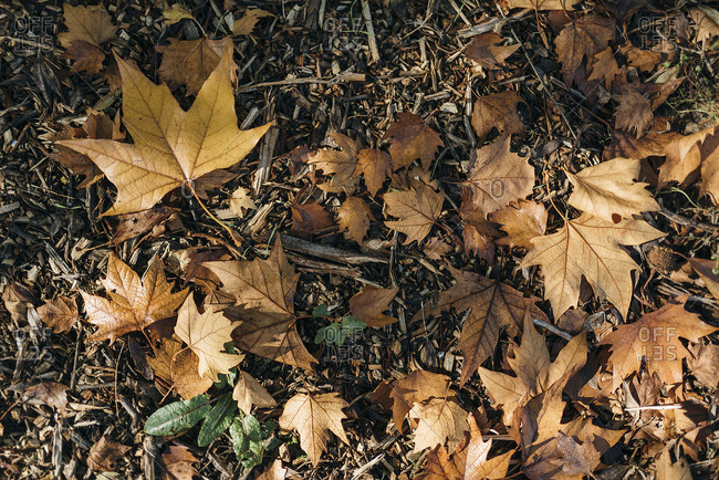 Dry autumn leaves in scattered on forest grass