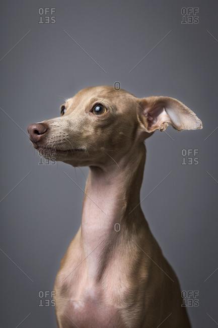 Studio portrait of little italian greyhound dog Friendly and fun