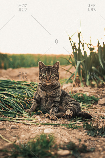 Cute cat sitting and looking away on background of calves on a farm