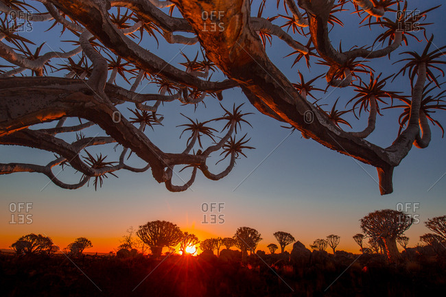 Picturesque view of branches of big tree and beautiful savanna on sunset