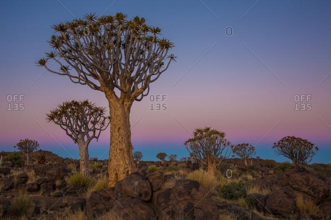 Silhouettes of savanna trees
