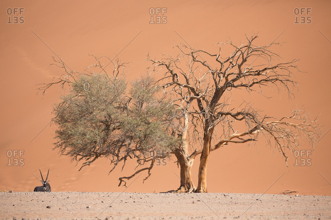 Small antelope standing near dead trees in hot and sandy desert