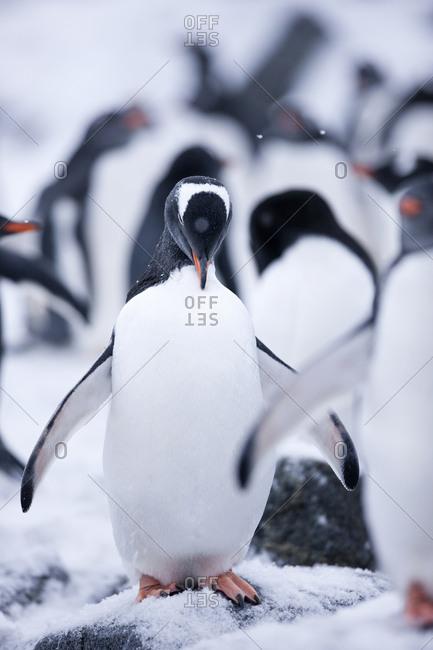 Antarctic- Antarctic Peninsula- Gentoo penguin- Pygoscelis papua