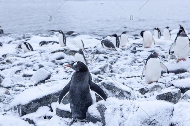 Antarctic- Antarctic Peninsula- Gentoo penguins- Pygoscelis papua